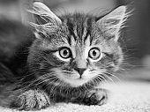 Kitten Black and White