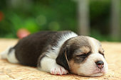 beagle Puppy is sleeping and looking on natural green background