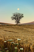 Summertime. Cornfield with lonely tree dominated by moon. Italy.