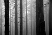 spooky dark forest with fog - monochrome