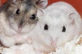 cute baby dwarf hamster looking surprised