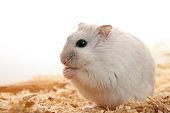 dwarf hamster looking surprised