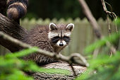 racoon baby on tree - trash panda