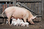 Pigs on the farm. Little piglets with mother. Household. Lovely pets