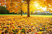 Sunny autumn maples in the park