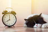 portrait of black and white Persian kitty cat sleeping near vintage alarm clock with sunbeams