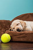 Yellow Labrador puppy sleeping in a sofa shaped dog bed with tennis ball - 7 weeks old