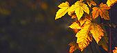 Autumn landscape, orange maple leaves,  selective focus