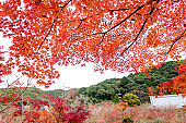 the beautiful autumn color of Japan red maple leaves on outdoor  background