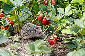 Curious young hedgehog , Atelerix albiventris,  in the bushes of strawberries in garden  among red  berries