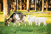 Goat And Two Kid Goat Grazing On Green Summer Grass On A Sunny Day