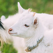 Close Up Of Kid Goat. Farm Animal