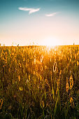 Grass In Yellow Sunlight And Bokeh, Boke Background. Later Summer Or Early Autumn Season. Sunset Sunrise Over Field Meadow Grass