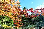 Autumn leaves. Japan