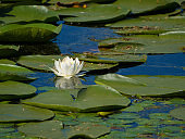 white water lilly flower