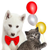 Cat and dog together, Scottish kitten, Husky puppy. Party mood. Isolated on white