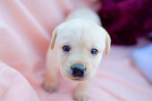 Little labrador puppy on the pink background.