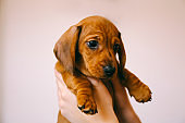 Dachshund puppy in the hands of its female owner.