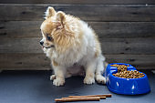 Pomeranian dog sitting lonely on the table with food and snack in morning day. Depress, anorexia, unhealthy and sick dog concepts.