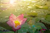 beautiful waterlily or lotus flowers in pond on sunrise