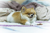 Fat lazy Pomeranian dog puppy stretching on blanket in the bed.
