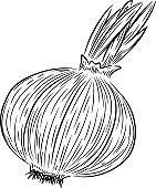 Hand drawn sketch style onion. Vintage fresh food illustration.