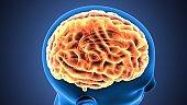 3d illustration of human body organ(brain anatomy)