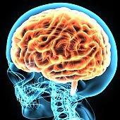 3d illustration brain and skeleton anatomy