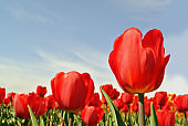 ulips. Summer or spring field background