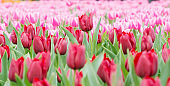 Beautiful tulip flowerbed