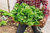 Farmer holding crate with lettuce