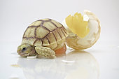 Cute portrait of baby tortoise hatching (African spurred tortoise)