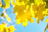 A beautiful backdrop of maple trees in autumn with yellow leaves. Out of focus.