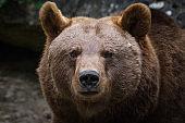 Portrait of a female brown bear