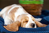 Gently Basset hound puppy lying on the blanket and sleeping