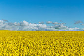 Beautiful yellow flowering rape field in Normandy, France. Country agricultural landscape on a sunny spring day.