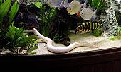 Golden tulip eel,swamp eel (Monopterus albinus)