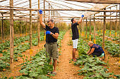 farming, gardening, agriculture, harvesting and people concept - happy family working on plants or cucumber seedlings at farm greenhouse. Family business