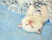 Happy sleeping cute little kitten on a back, covered with a fluffy blanket