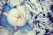 Sleeping cute little kitten, covered with a fluffy blanket
