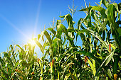 Bright sunrise on a cornfield