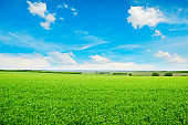 Peas field and blue sky.