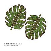 Tropical leaves - Philodendron. vector