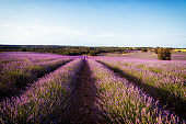 Beautiful image of lavender fields.