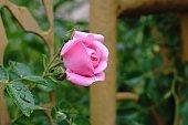 Tree rose.
