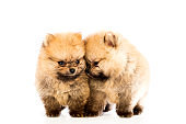 pomeranian puppy the age of 1-2 month