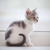 The domestic spotty kitten sits at a window.