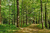 Path Road Way Pathway On Sunny Day In Summer Sunny Forest at Sunset or Sunrise. Nature Woods in Sunlight