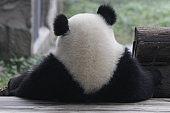 Baby Panda in Chongqing, China