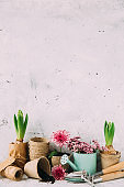 spring gardening background with hyacinth flowers